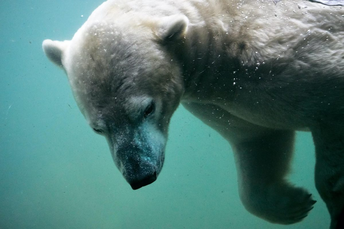 Can polar bears breathe underwater