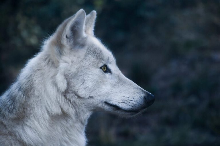 Can Wolves Eat Chocolate? (Is Chocolate Bad For Wolves?)
