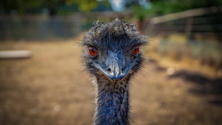 Can You Ride an Emu? [Probably Not! Here's Why]
