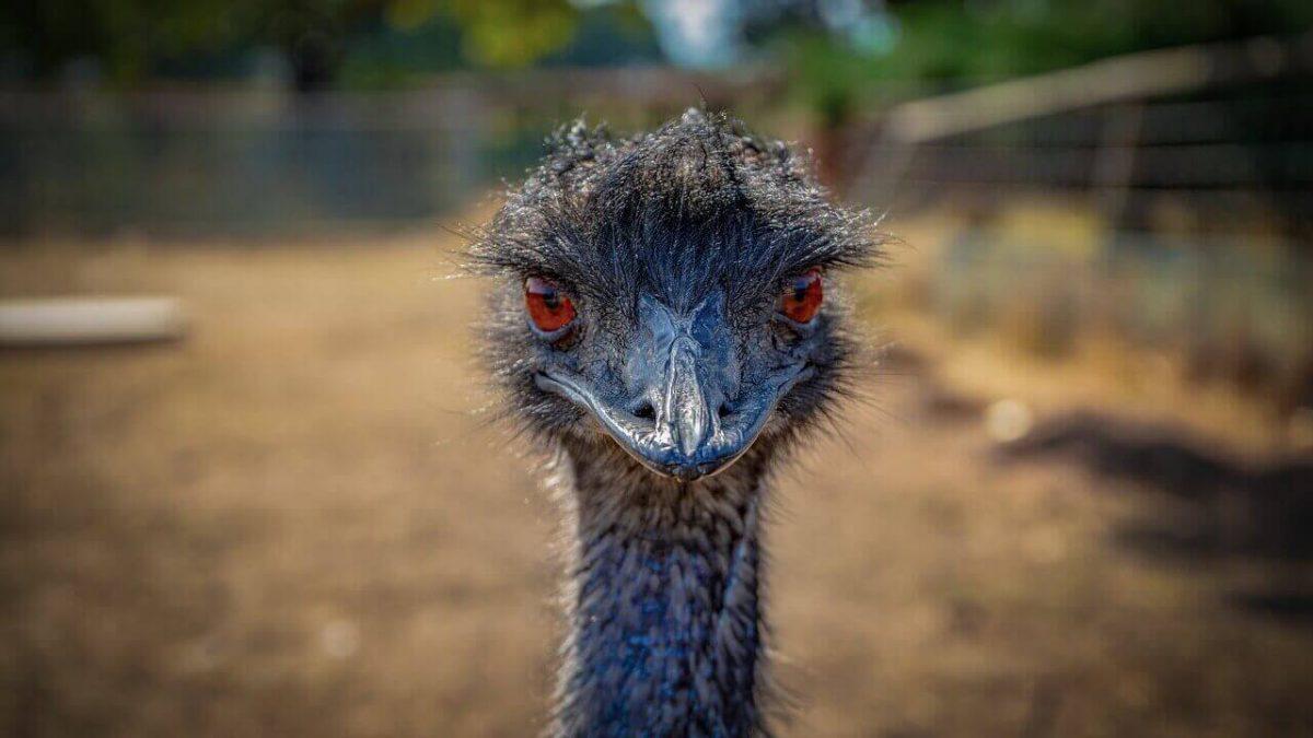 Can-you-ride-an-emu