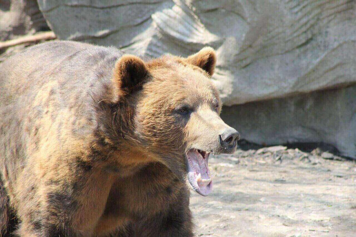 do bears eat deers