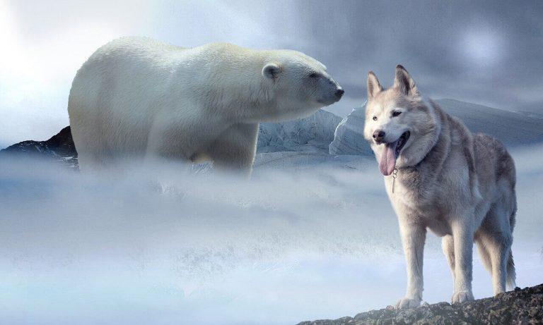 Do Bears Eat Wolves?
