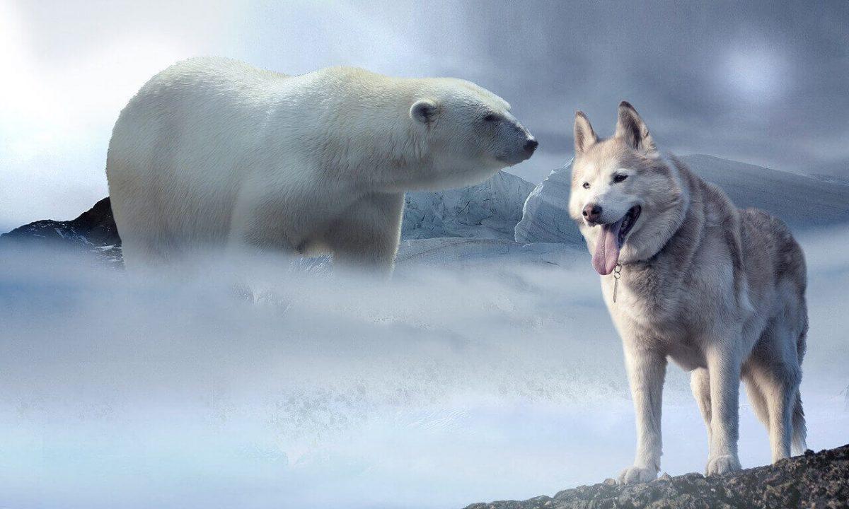 Do bears eat wolves