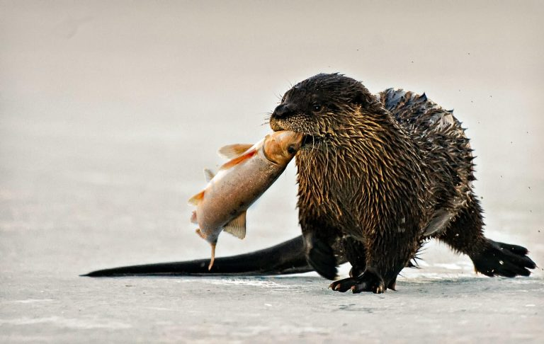 Do Otters Eat Fish?