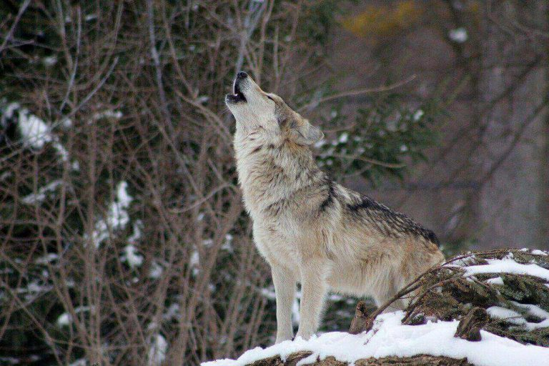 Can Wolves Purr? What Sounds Do Wolves Make?