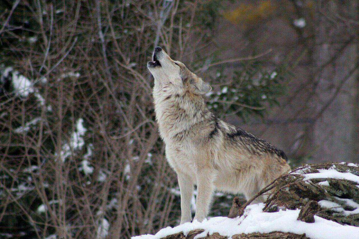 do-wolves-purr