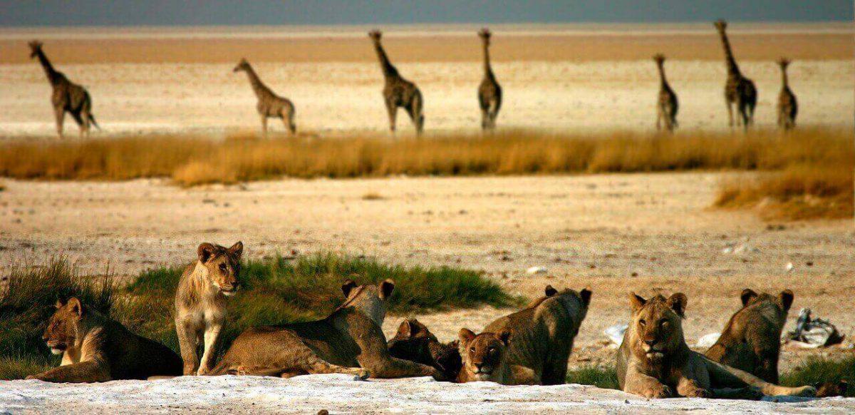 do lions eat giraffes