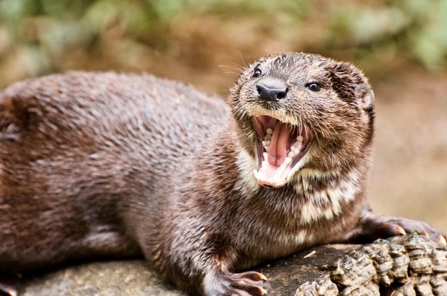 Do Otters Eat Ducks?