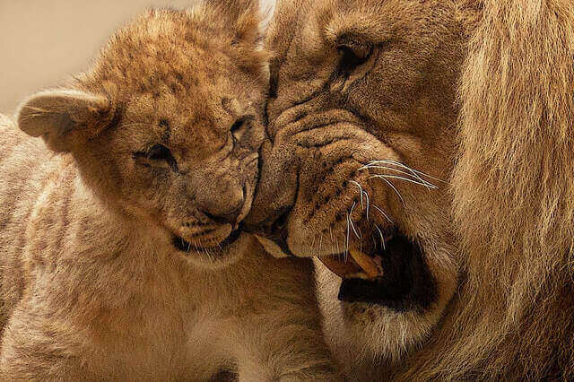 do lions eat their cubs