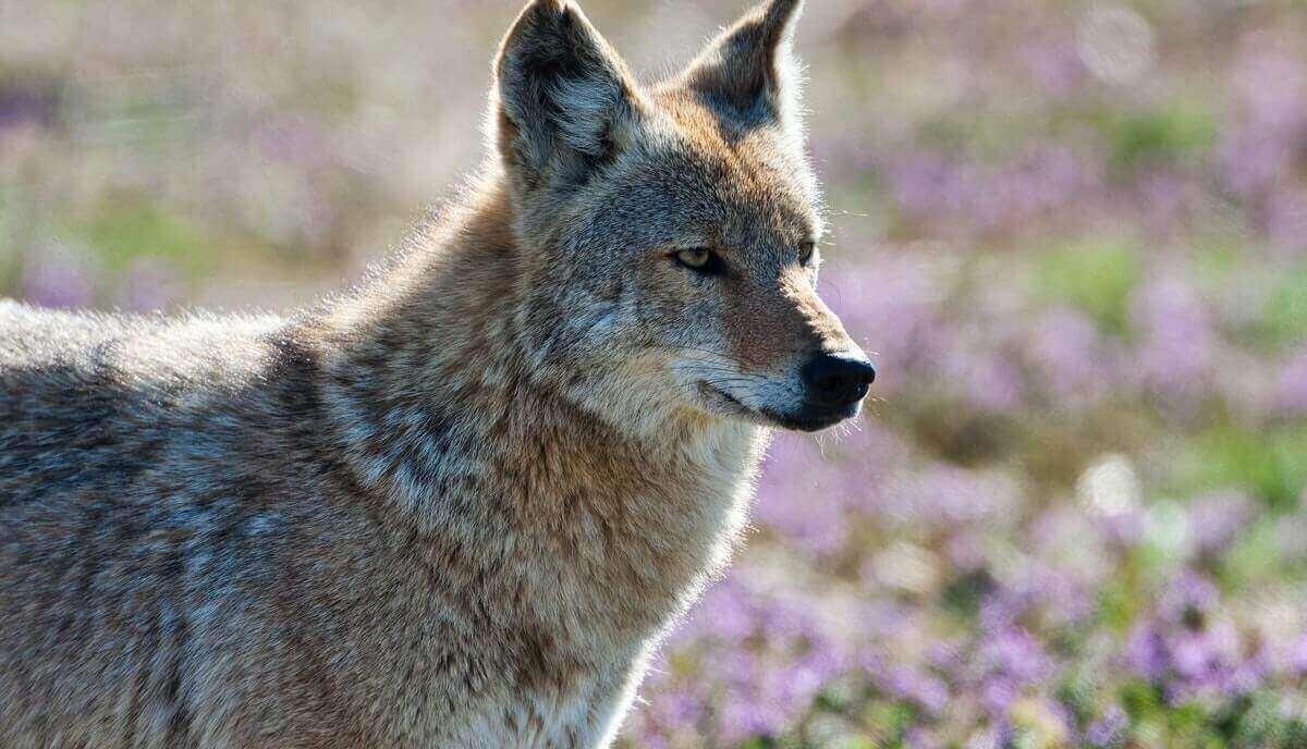 Can coyotes climb trees