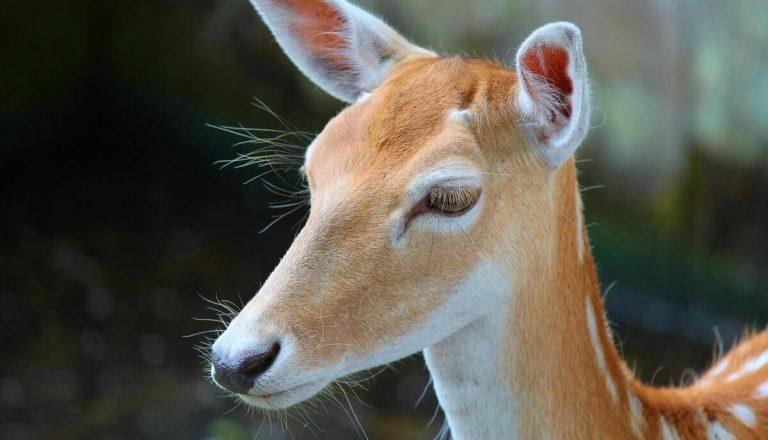 Do Deer Have Eyelids?