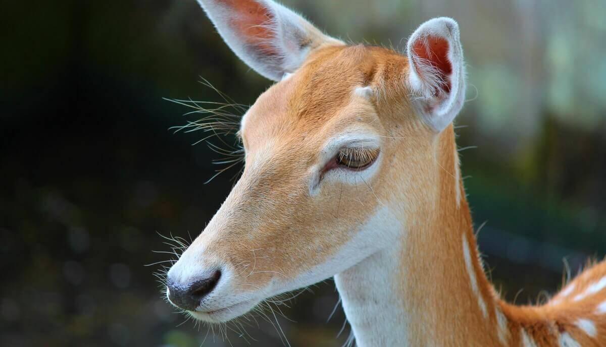 do deer have eyelids