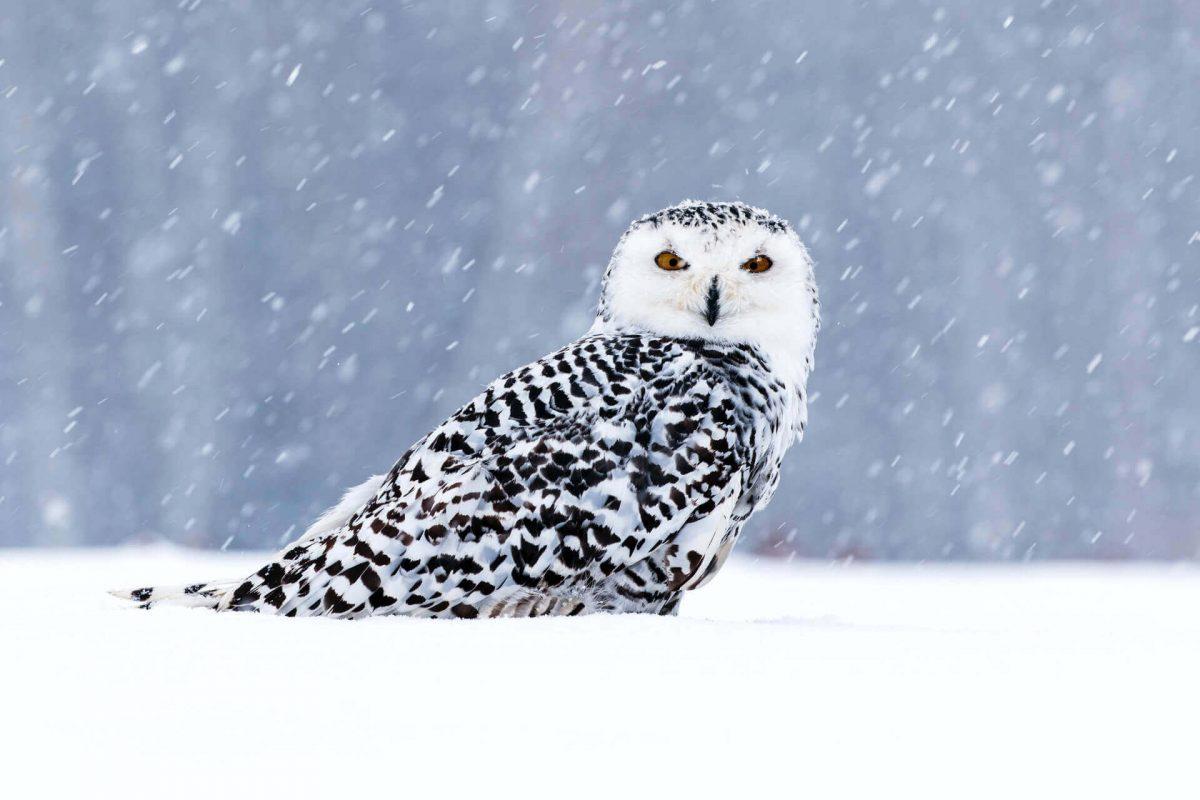 can owls walk