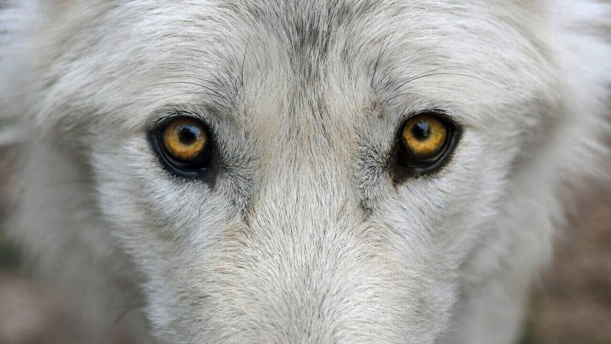 are wolves color blind