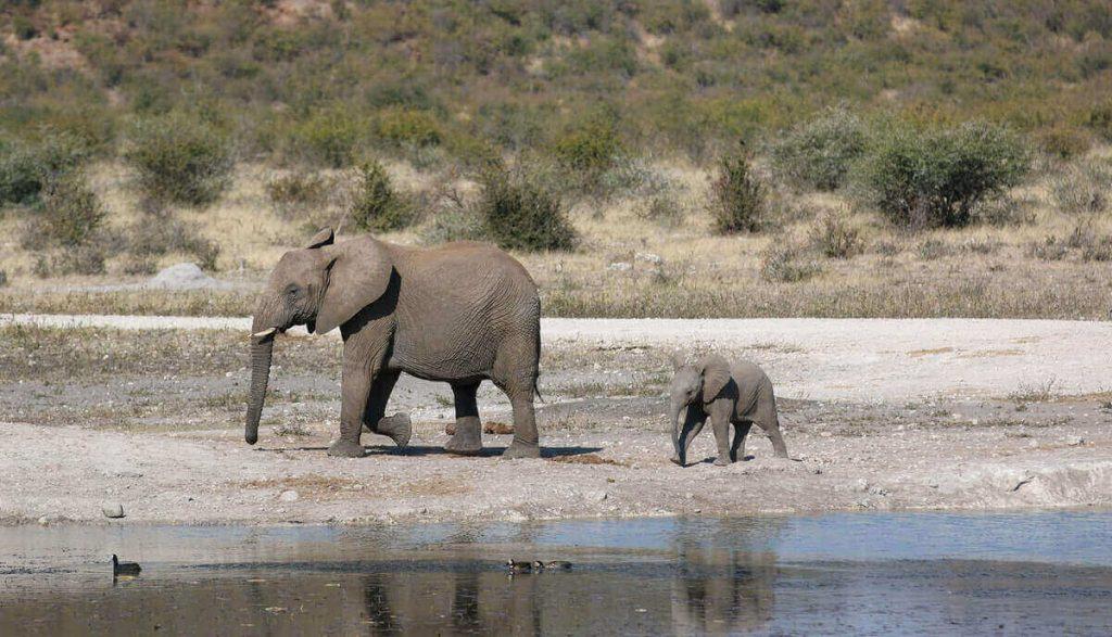 are elephants prey