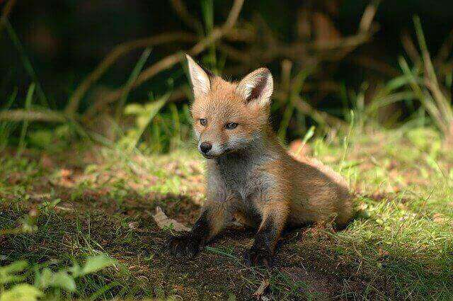 how do foxes protect from predators