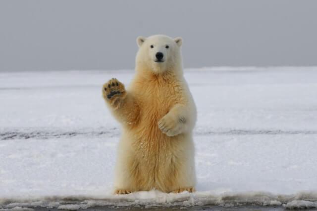 bears are like humans