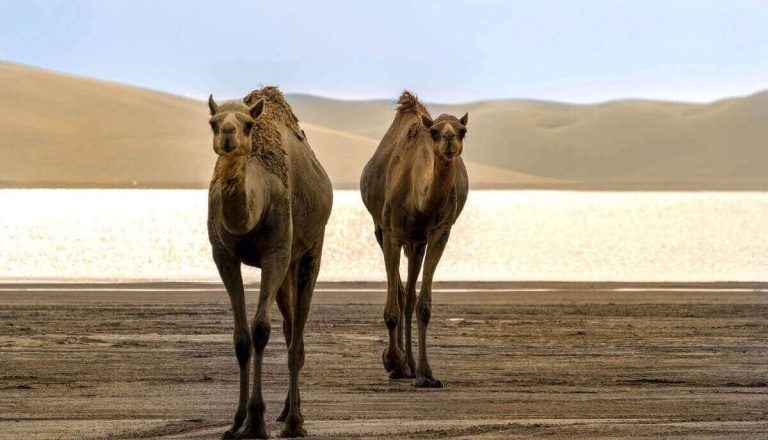 Can Camels Jump? (Myth Or Truth?)