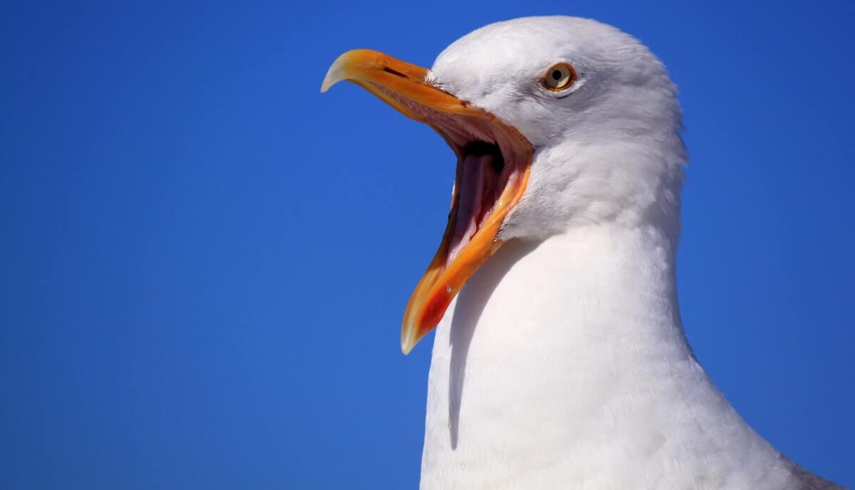 can you eat seagulls
