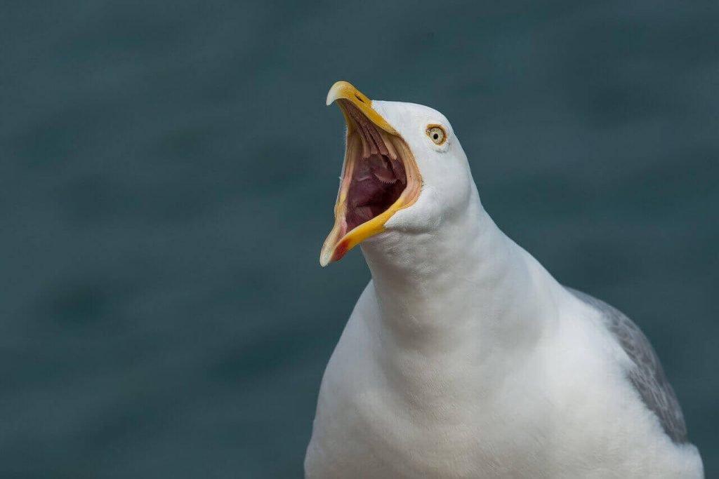 gull communication