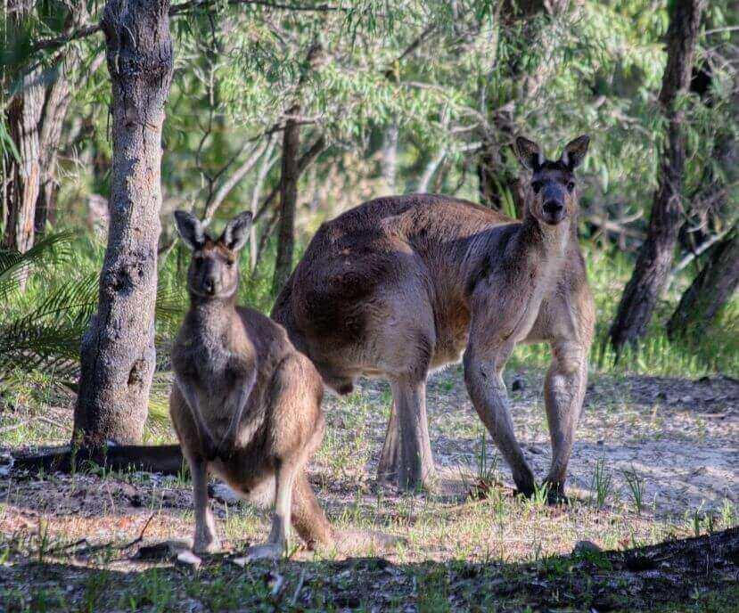 why are kangaroos so buff