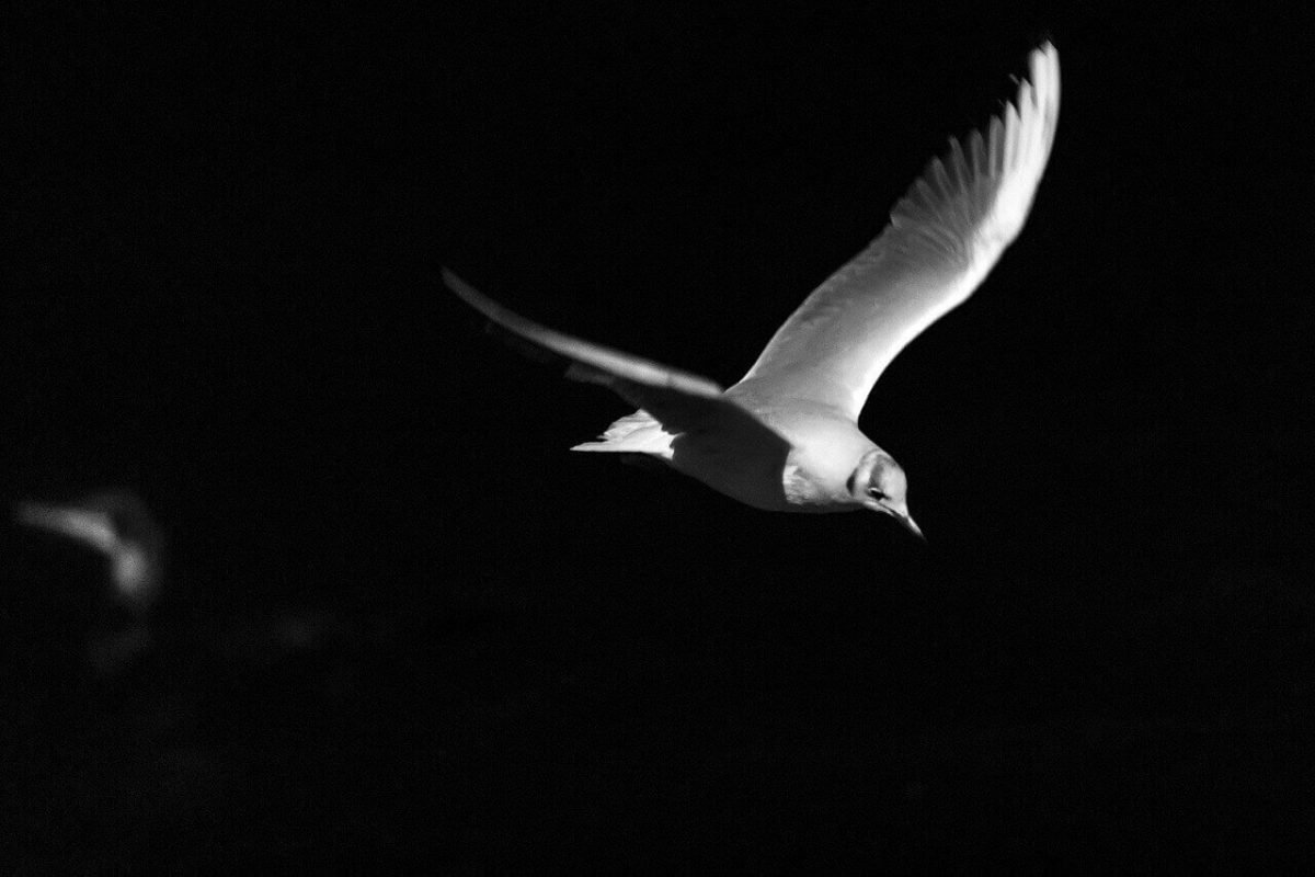 do seagulls fly at night