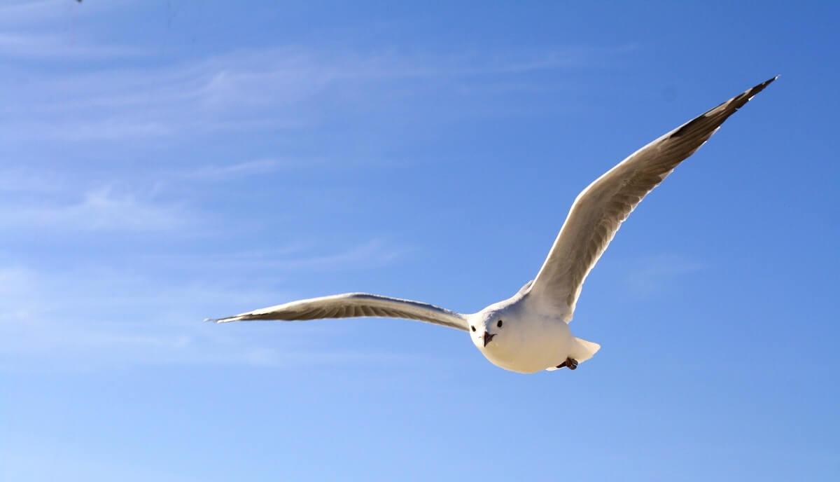 do seagulls have ears