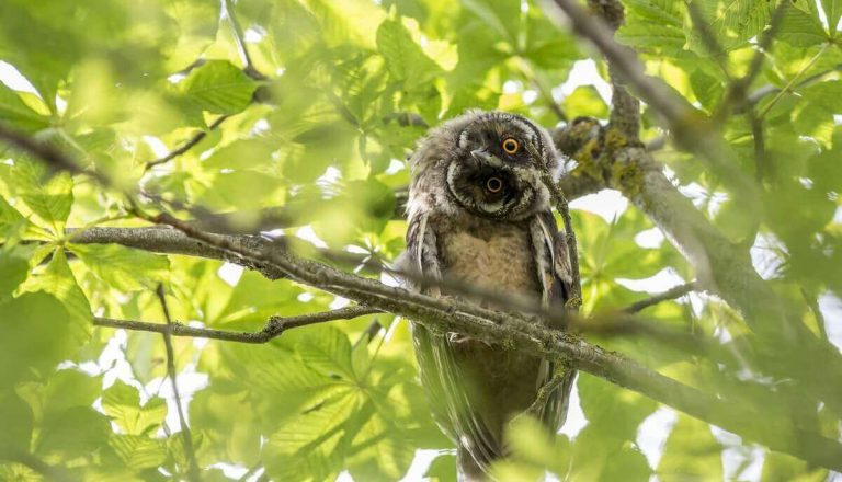 Can You Eat Owl? [No! Here's Why]