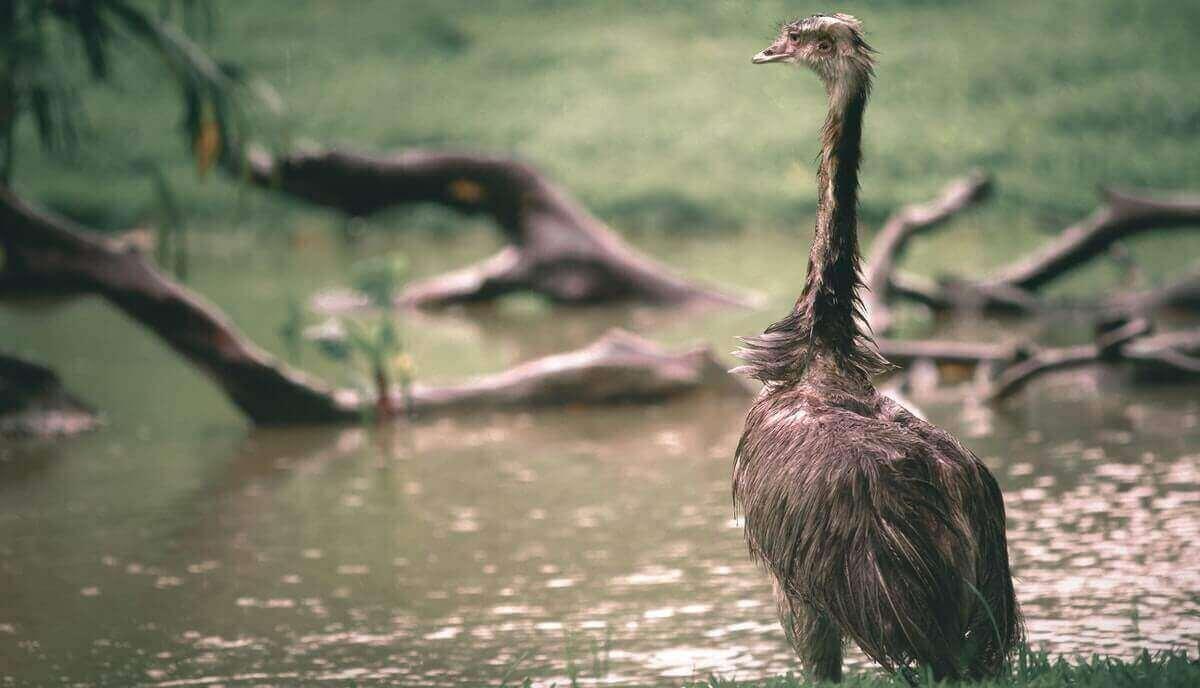 do emus spit