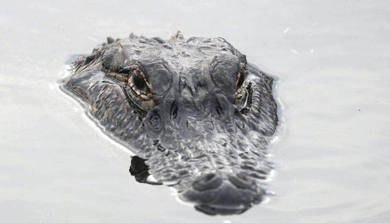 Can Alligators Smell Blood?