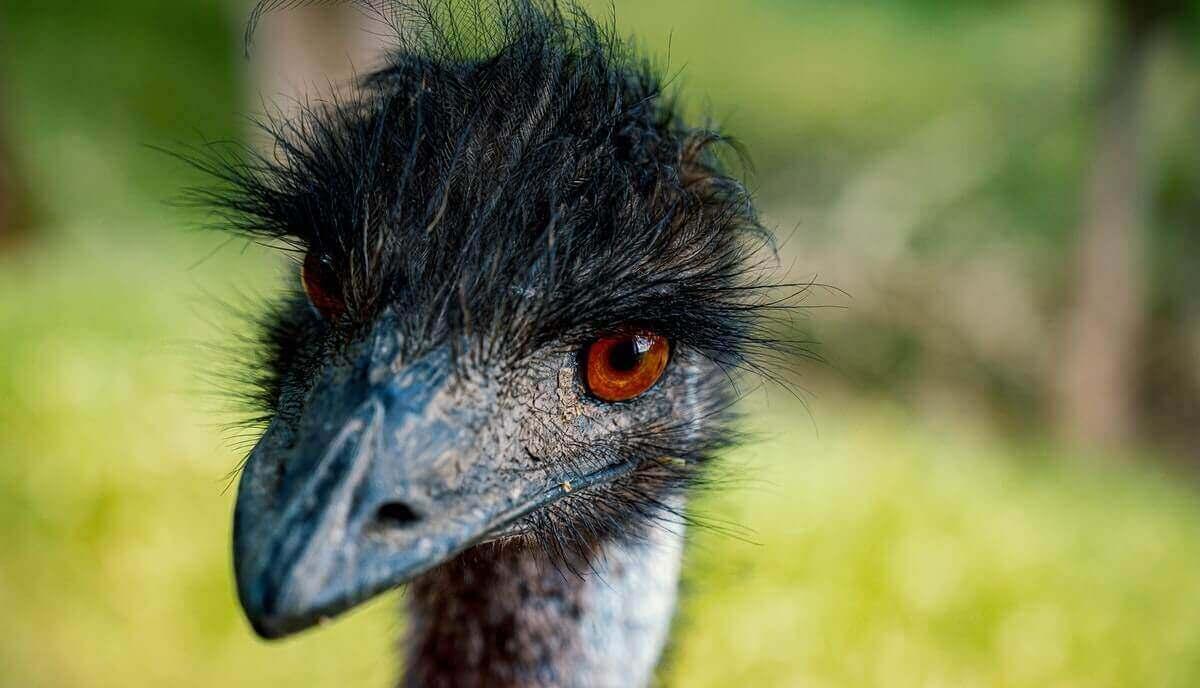are emus dangerous