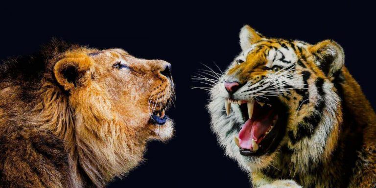 Do Lions and Tigers Get Along? [All You Need to Know]