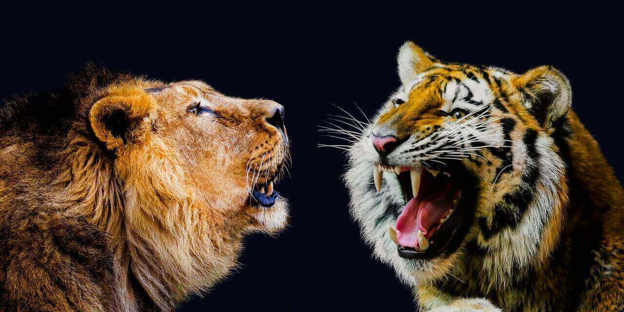 do lions and tigers get along