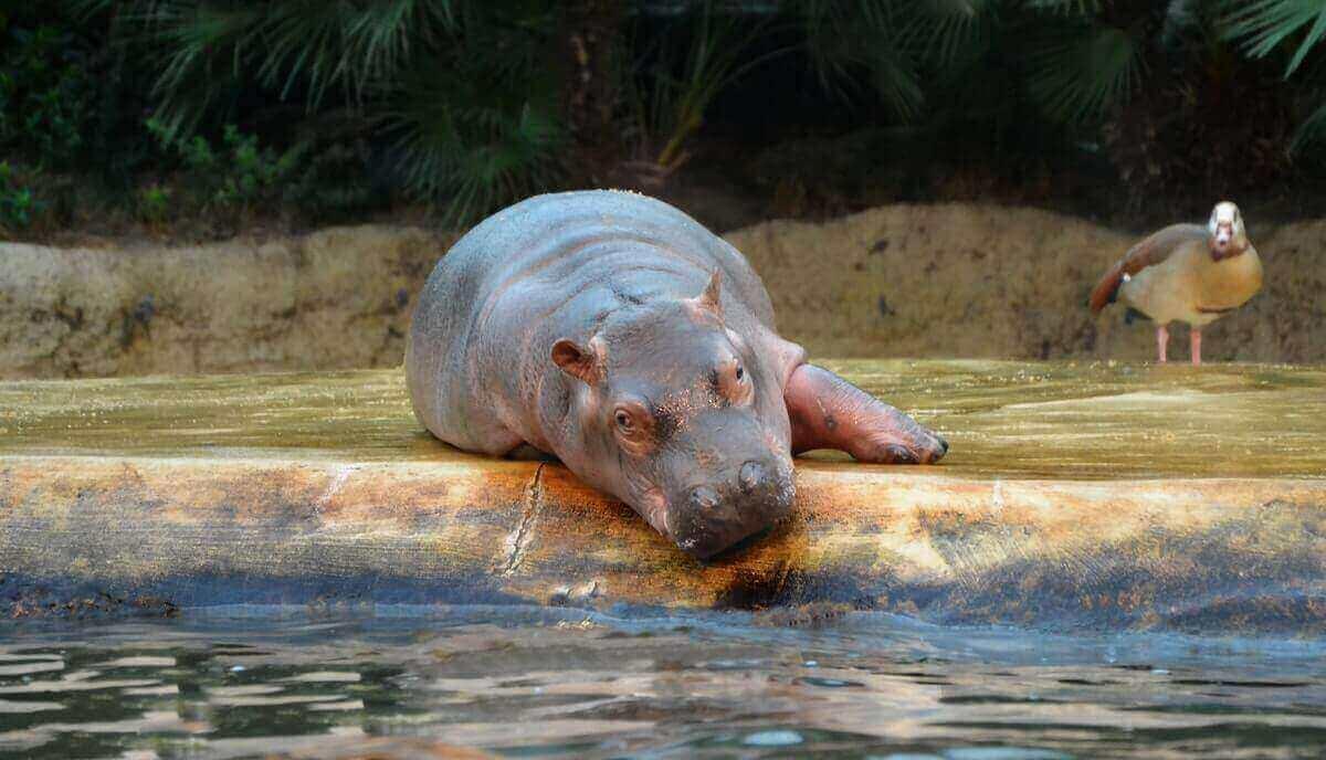 do hippos like chocolate