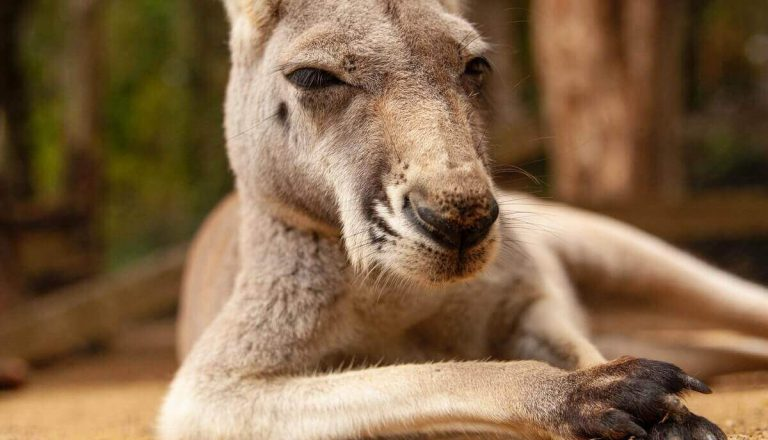 How Strong Are Kangaroos? [Pretty Strong! Here's Why]