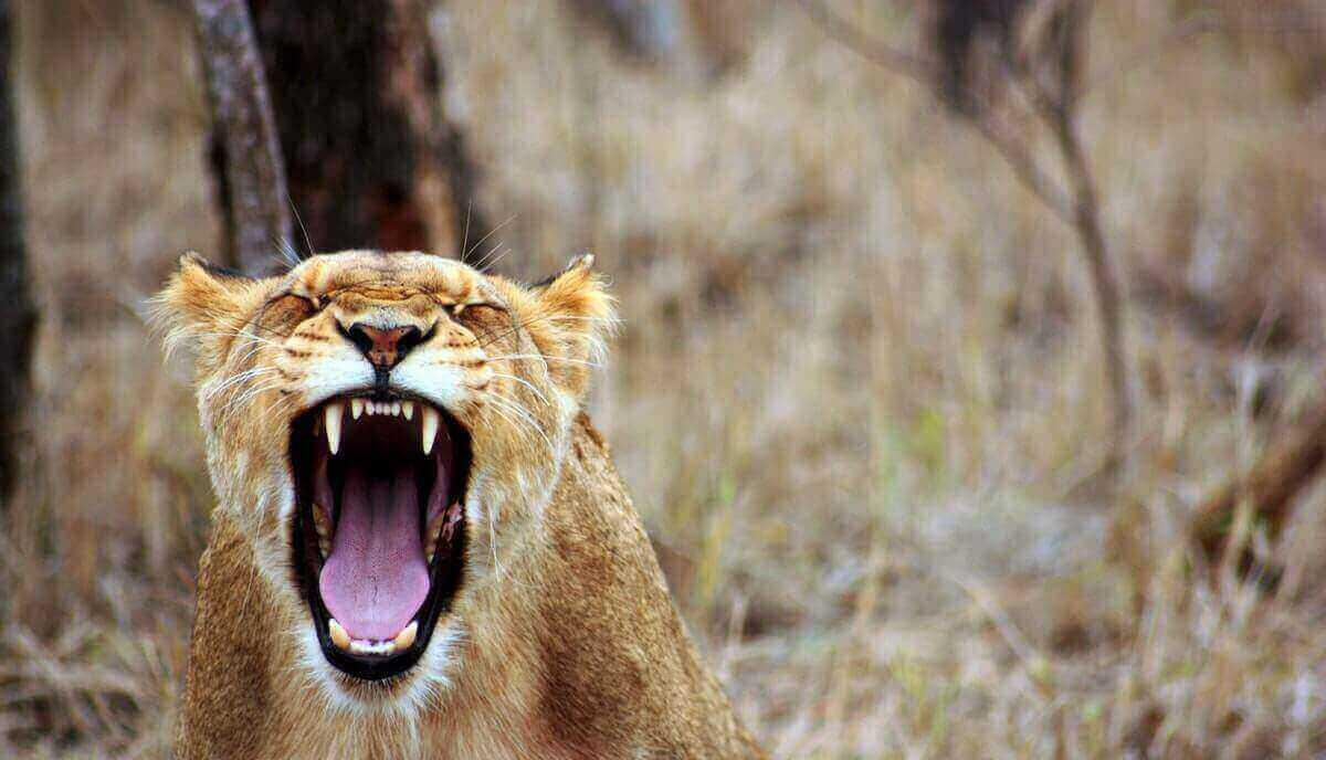why do lions roar