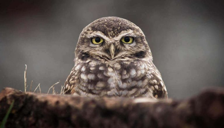 Do Owls Eat Snakes? [Yes! Here's How]