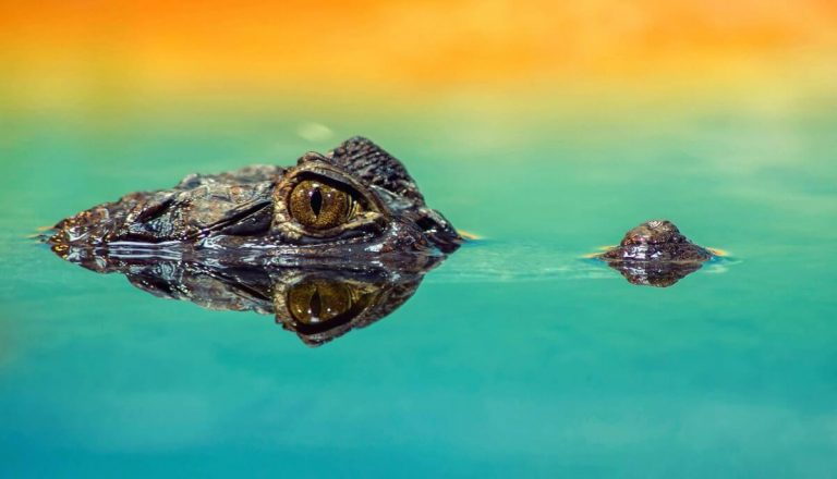 Can Crocodiles Be Tamed? [No! Here's Why]
