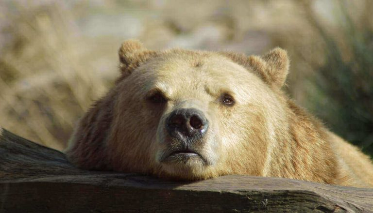 Do Bears Live in the Jungle? (Answered and Explained!)