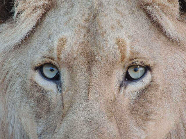 Can lions see in the dark