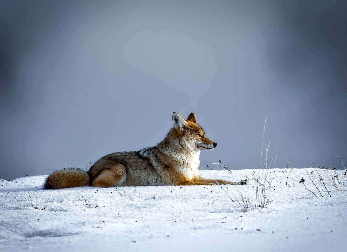 do coyotes eat birds