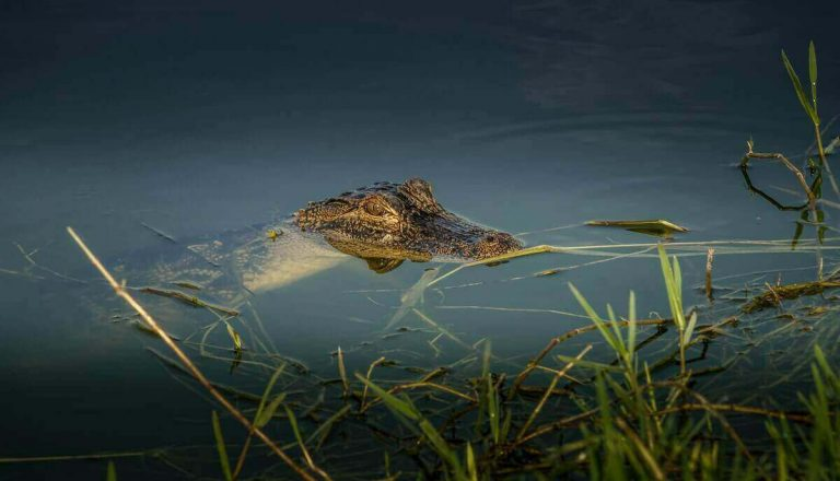 What Eats a Crocodile? List of Crocodile Predators