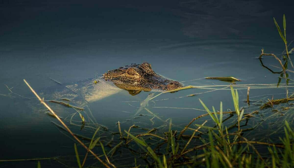 what eats a crocodile