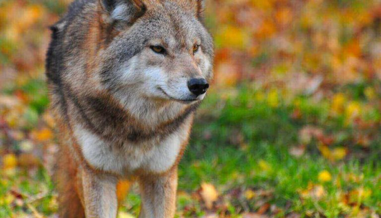 Do Wolves Eat Coyotes?!