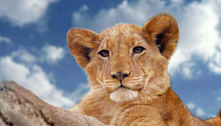 Are Lions Color Blind? What Colors Do Lions See? (Explained)