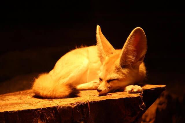 animals with big ears