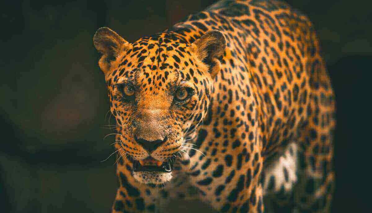 do lions eat leopards
