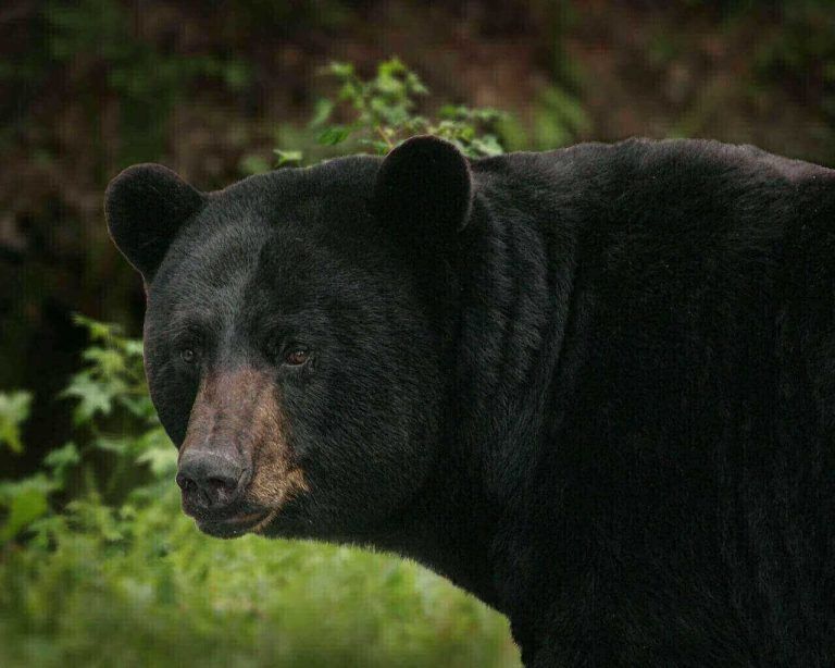 Do Bears Eat Coyotes? (Answered & Explained)