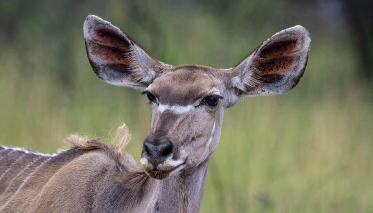 19 Awesome Animals With Big Ears (Pictures + Fun Facts)