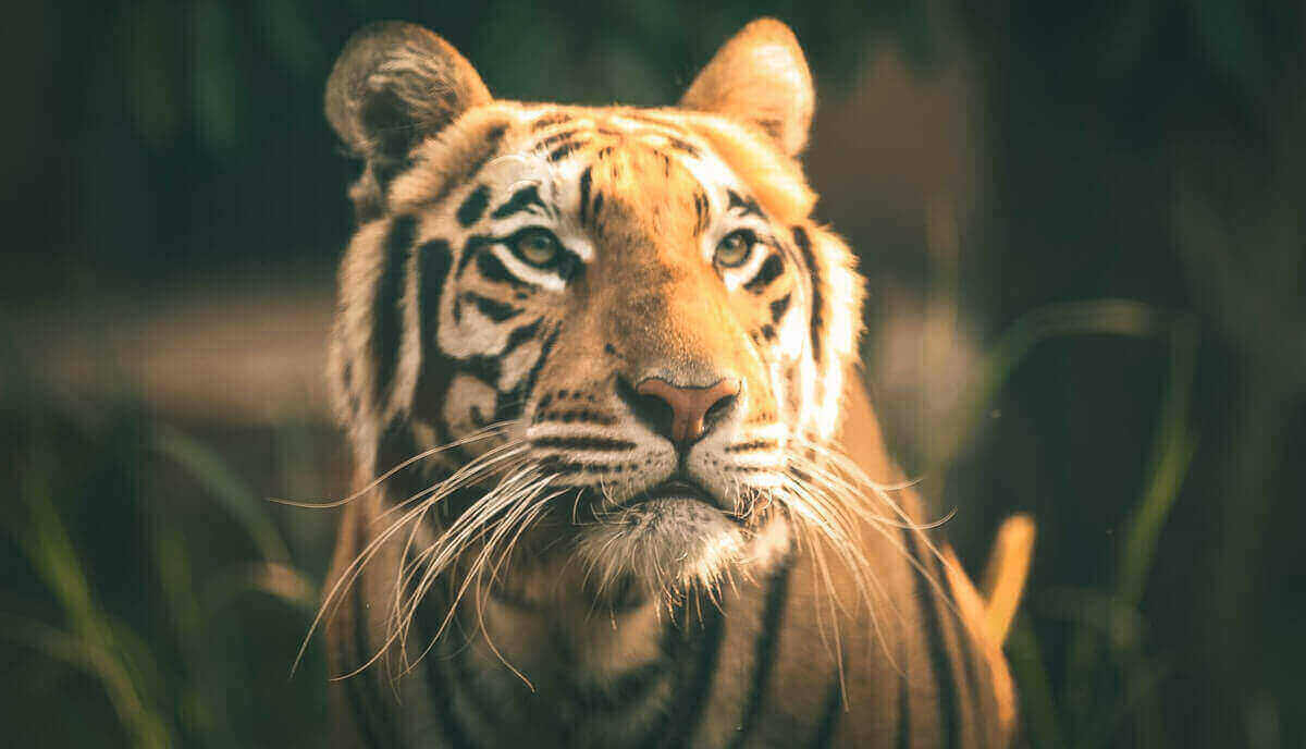 can tigers climb trees